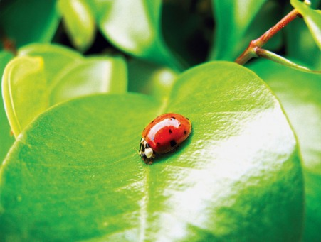 Fair Trade Photo Greeting Card Animals, Closeup, Colour image, Good luck, Green, Horizontal, Insect, Insects, Ladybug, Leaf, Nature, Peru, Red, South America, Summer
