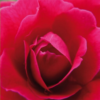Fair Trade Photo Greeting Card Asia, Closeup, Colour image, Flower, Horizontal, India, Love, Nature, Pink, Red, Rose