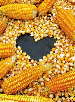 Fair Trade Photo Greeting Card Agriculture, Colour image, Corn, Food and alimentation, Heart, Horizontal, Love, Peru, South America, Valentines day, Yellow
