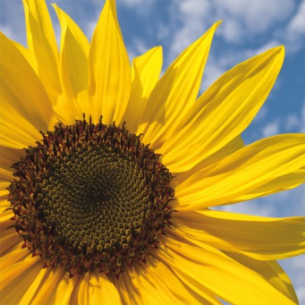 Fair Trade Photo Greeting Card Closeup, Clouds, Colour image, Day, Flower, Horizontal, Outdoor, Peru, Seasons, Sky, South America, Spring, Summer, Sunflower, Yellow