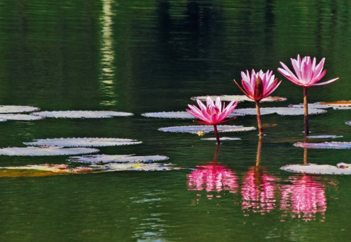 Fair Trade Photo Greeting Card Asia, Condolence/Sympathy, Flower, Horizontal, India, Lotus flower, Lotusflower, Nature, Pink, Reflection, River, Spirituality, Water, Waterlily