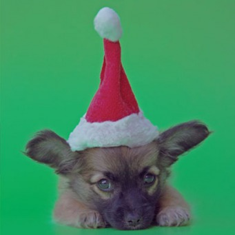 Fair Trade Photo Greeting Card Animals, Christmas, Closeup, Colour image, Cute, Dog, Funny, Green, Horizontal, Peru, Puppy, Red, South America, Studio