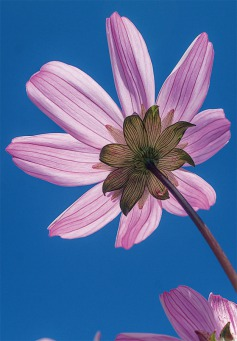 Fair Trade Photo Greeting Card Blue, Closeup, Colour image, Flower, Horizontal, Low angle view, Nature, Peru, Pink, Sky, South America