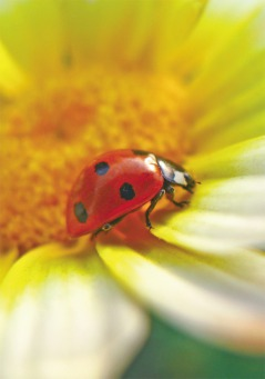 Fair Trade Photo Greeting Card Animals, Asia, Closeup, Colour image, Flower, Good luck, Horizontal, India, Insect, Ladybug, Nature, Outdoor, Red, Yellow