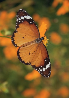 Fair Trade Photo Greeting Card Animals, Asia, Butterfly, Colour image, Flower, Focus on foreground, Food and alimentation, Fruits, Horizontal, India, Insect, Nature, Orange, Outdoor