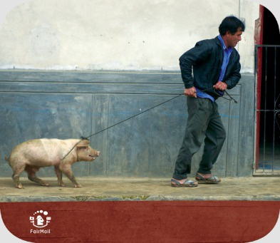 Fair Trade Photo Greeting Card Activity, Agriculture, Animals, Casual clothing, Clothing, Colour image, Dailylife, Entrepreneurship, Funny, Horizontal, Looking away, Man, Multi-coloured, One man, Outdoor, People, Peru, Pig, Portrait fullbody, Rural, South America, Streetlife, Transport, Travel, Walking