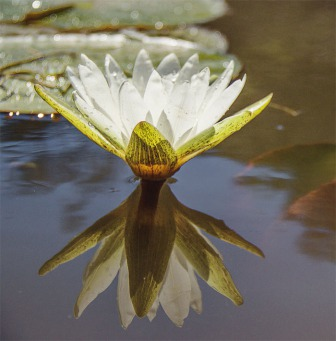 Fair Trade Photo Greeting Card Colour image, Condolence/Sympathy, Flower, Lake, Leaf, Lotus flower, Peru, Reflection, South America, Spirituality, Water, Waterlily, White