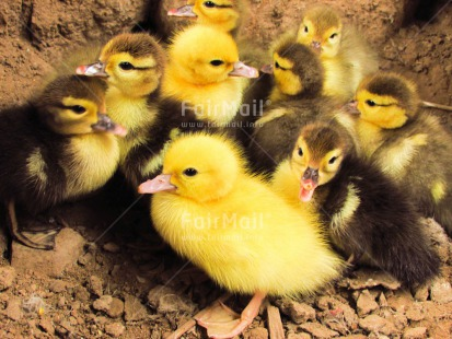 Fair Trade Photo Animals, Baby, Colour image, Cute, Duck, Friendship, Group, Horizontal, Outdoor, People, Peru, South America, Together, Yellow