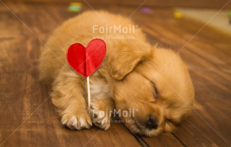 Fair Trade Photo Activity, Animals, Colour image, Cute, Dog, Fathers day, Friendship, Heart, Holding, Horizontal, Love, Lying, Mothers day, Peru, Puppy, Red, Sleeping, South America, Valentines day