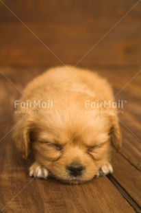 Fair Trade Photo Activity, Animals, Colour image, Cute, Dog, Lying, Peru, Puppy, Sleeping, Sorry, South America, Vertical
