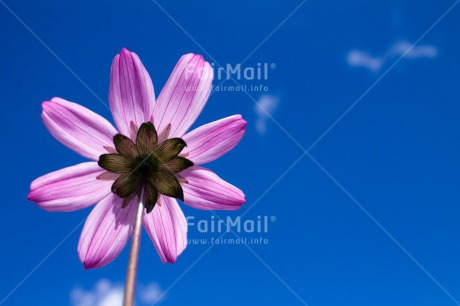 Fair Trade Photo Blue, Closeup, Colour image, Flower, Horizontal, Low angle view, Nature, Peru, Pink, Shooting style, Sky, South America