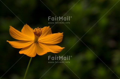 Fair Trade Photo Closeup, Colour image, Flower, Horizontal, Mothers day, Nature, Shooting style, Yellow