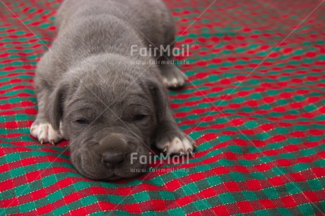 Fair Trade Photo Activity, Animals, Christmas, Colour image, Cute, Dog, Horizontal, Peru, Puppy, Relaxing, Sleeping, South America