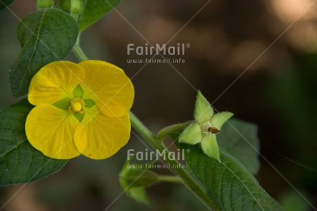 Fair Trade Photo Colour image, Flower, Horizontal, Nature, Peru, South America, Yellow