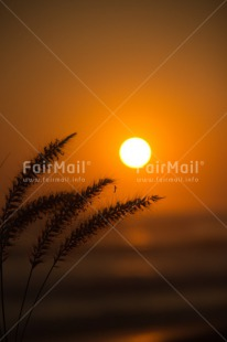 Fair Trade Photo Colour image, Condolence/Sympathy, Peru, South America, Sunset, Vertical, Wheat