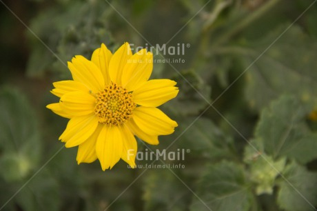 Fair Trade Photo Colour image, Confirmation, Flower, Horizontal, Mothers day, Peru, South America, Yellow