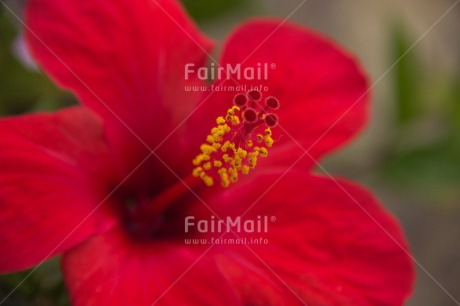 Fair Trade Photo Closeup, Colour image, Flower, Horizontal, Mothers day, Peru, Red, Shooting style, South America