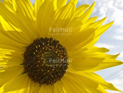 Fair Trade Photo Closeup, Colour image, Flower, Horizontal, Outdoor, Peru, Seasons, Sky, South America, Summer, Sunflower, Yellow