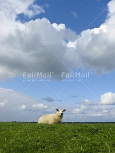 Fair Trade Photo Agriculture, Animals, Clouds, Colour image, Day, Emotions, Grass, Green, Nature, Netherlands, Outdoor, Peru, Scenic, Sheep, Sky, South America, Vertical