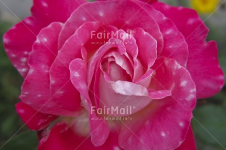 Fair Trade Photo Closeup, Colour image, Flower, Focus on foreground, Horizontal, Love, Mothers day, Nature, Outdoor, Peru, Pink, South America, Valentines day