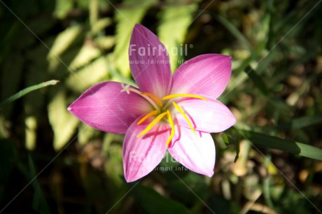 Fair Trade Photo Closeup, Colour image, Condolence/Sympathy, Flower, Forest, Horizontal, Peru, Pink, Shooting style, South America