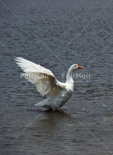Fair Trade Photo Activity, Animals, Bird, Colour image, Day, Flying, Freedom, Goose, Outdoor, Peru, South America, Vertical, Water, White