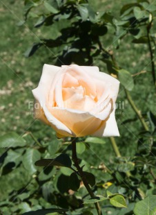 Fair Trade Photo Colour image, Condolence/Sympathy, Flower, Mothers day, Nature, Peru, Rose, South America, Vertical