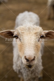 Fair Trade Photo Agriculture, Animals, Peru, Sheep, South America, Vertical