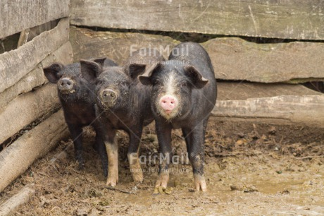 Fair Trade Photo Agriculture, Animals, Colour image, Friendship, Funny, Good luck, Horizontal, Peru, Pig, South America, Together