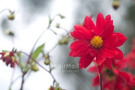 Fair Trade Photo Closeup, Colour image, Flower, Horizontal, Peru, Red, Shooting style, South America