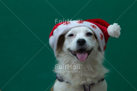 Fair Trade Photo Animals, Christmas, Colour image, Dog, Hat, Horizontal, Peru, South America, Star