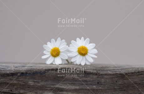 Fair Trade Photo Colour image, Daisy, Flower, Horizontal, Marriage, Peru, South America, Wedding