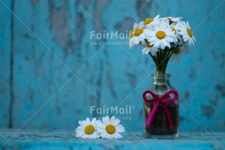 Fair Trade Photo Colour image, Daisy, Flower, Horizontal, Mothers day, Outdoor, Peru, South America, Summer, Thank you