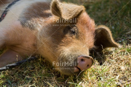 Fair Trade Photo Activity, Agriculture, Animals, Colour image, Cute, Horizontal, Peru, Pig, Relaxing, South America
