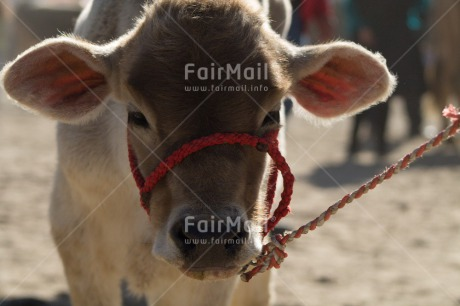 Fair Trade Photo Activity, Agriculture, Animals, Calf, Closeup, Colour image, Cow, Horizontal, Looking at camera, Peru, Shooting style, South America