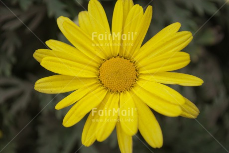 Fair Trade Photo Closeup, Colour image, Flower, Horizontal, Mothers day, Peru, Shooting style, South America, Yellow