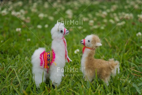 Fair Trade Photo Animals, Colour image, Flowers, Friendship, Grass, Green, Horizontal, Llama, Mothers day, Nature, Outdoor, Peru, South America, Two, Urban, White