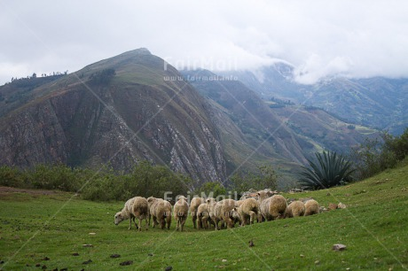 Fair Trade Photo Animals, Colour image, Grass, Green, Horizontal, Mountain, Nature, Peru, Rural, Sheep, South America
