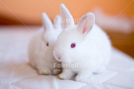 Fair Trade Photo Animals, Brother, Colour image, Couple, Easter, Horizontal, Love, Peru, Rabbit, Sister, South America, Together, Valentines day, White