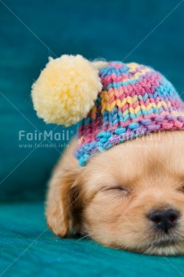 Fair Trade Photo Activity, Animals, Christmas, Clothing, Cold, Colour image, Cute, Dog, Hat, Lying, Peru, Puppy, Seasons, Sleeping, Sorry, South America, Vertical, Winter