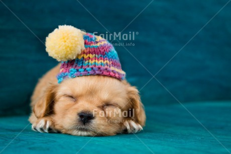 Fair Trade Photo Activity, Animals, Christmas, Clothing, Cold, Colour image, Cute, Dog, Hat, Horizontal, Lying, Peru, Puppy, Seasons, Sleeping, Sorry, South America, Winter