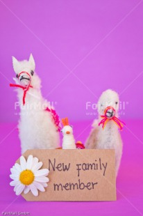 Fair Trade Photo Animals, Birth, Colour image, Daisy, Flower, Girl, Horizontal, Letter, Llama, New baby, People, Peru, Pink, South America, Text