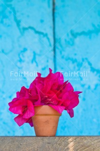 Fair Trade Photo Blue, Colour image, Flower, Friendship, Get well soon, Jar, Mothers day, Peru, Pink, South America, Tarapoto travel, Thank you, Thinking of you, Vertical, Welcome home