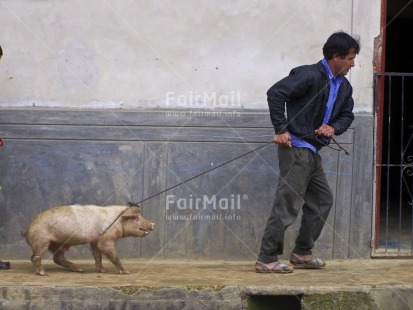 Fair Trade Photo Activity, Agriculture, Animals, Casual clothing, Clothing, Colour image, Dailylife, Entrepreneurship, Funny, Horizontal, Looking away, Multi-coloured, One man, Outdoor, People, Peru, Pig, Portrait fullbody, Rural, South America, Streetlife, Walking