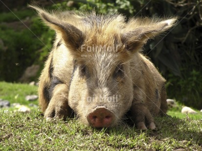 Fair Trade Photo Activity, Agriculture, Animals, Colour image, Day, Funny, Grass, Horizontal, Lying, Nature, Outdoor, Peru, Pig, Relaxing, Rural, South America