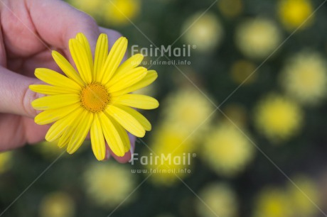 Fair Trade Photo Colour image, Flower, Horizontal, Mothers day, Peru, South America, Yellow