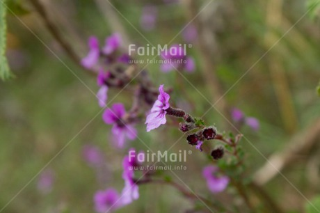 Fair Trade Photo Colour image, Flower, Green, Horizontal, Nature, Outdoor, Peru, Purple, South America