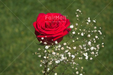Fair Trade Photo Colour image, Flower, Horizontal, Love, Marriage, Peru, Red, Rose, South America, Valentines day, Wedding