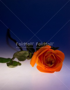 Fair Trade Photo Blue, Christmas, Closeup, Colour image, Condolence/Sympathy, Flower, Food and alimentation, Fruits, Orange, Peru, Rose, Shooting style, South America, Vertical, White