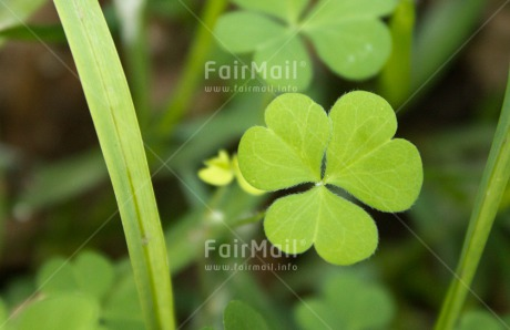 Fair Trade Photo Closeup, Colour image, Good luck, Green, Horizontal, Leaf, Nature, Peru, Plant, Shooting style, South America, Trefoil, Wellness